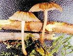 Cogumelos bioluminescentes do gênero <i>Mycena</i>