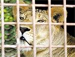 Um dos cinco leões abandonados em Uberaba