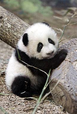 Le foto dei cuccioli di uno degli animali rari pi dolce: il panda - Ecoo 84