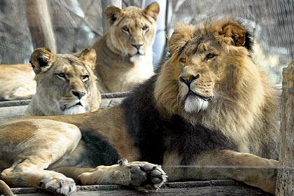 Importanzadeleparole il cannocchiale blog - Un letto di leoni ...