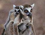 Os lêmures são animais típicos da ilha de Madagascar