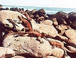 Iguanas tomam banho de sol