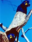 Projeto preserva as araras azuis